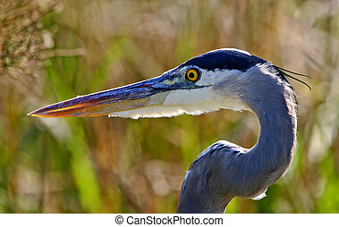 Great Blue Heron - Ardea herodias - portrait