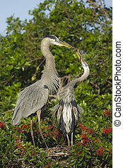 Great Blue Heron, Ardea herodias, presenting stick to female...