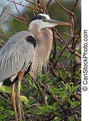 Great Blue Heron (Ardea Herodias) standing in a marsh