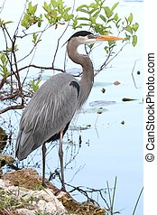 Great Blue Heron (Ardea Herodias) standing in a marsh