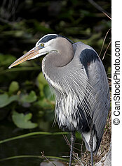 Great Blue Heron (Ardea Herodias) iin the Florida Everglades