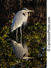 Great Blue Heron (Ardea Herodias) reflection in the Florida...
