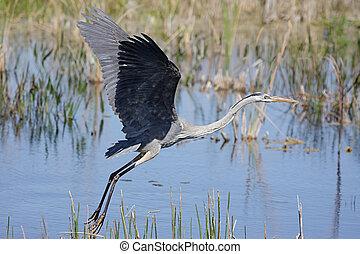 Great Blue Heron (Ardea Herodias) taking flight in the Florida Everglades