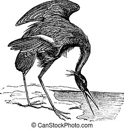 Great Blue Heron (Ardea herodias) vintage engraving