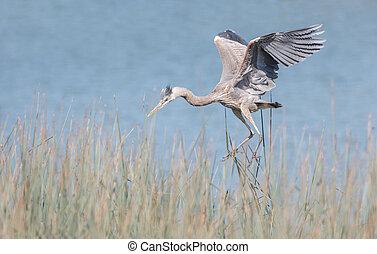 Great blue heron at  Richmond BC Canada