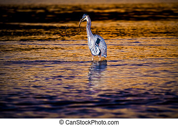 Great Blue Heron at Sunset in the Water