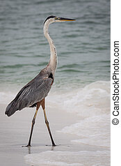 Great Blue Heron at the beach