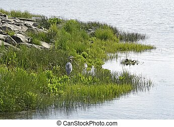 Great blue Heron at the Estuary