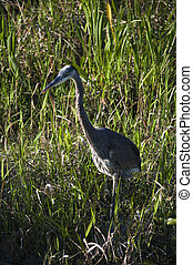 Great blue heron at the marsh