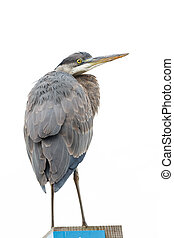 great blue heron at Vancouver BC Canada