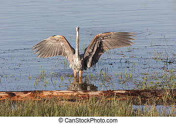 Great blue heron at Vancouver BC Canada