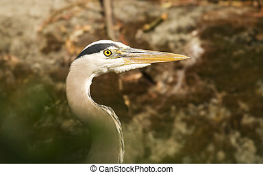Great Blue Heron Beak - A close up of the head and beak of a...