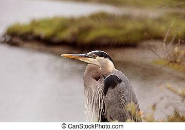 Great blue heron bird, Ardea herodias