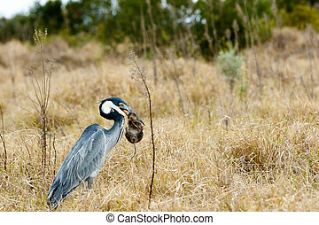 Great blue heron bird catching a mouse