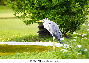 Great Blue heron bird - Side view of Great Blue heron bird...