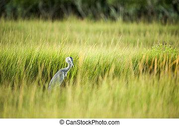 Great Blue Heron busy in marsh