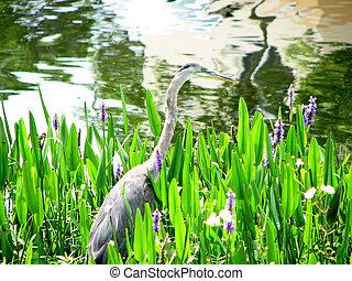 Great Blue Heron by lake