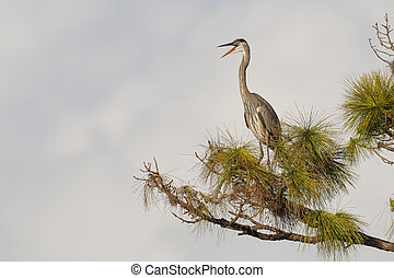 Great Blue Heron calling while perched in a pine tree - Venice, Florida