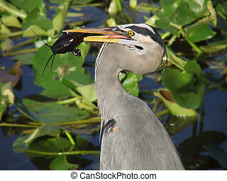 Great Blue Heron catches a catfish - Florida Everglades