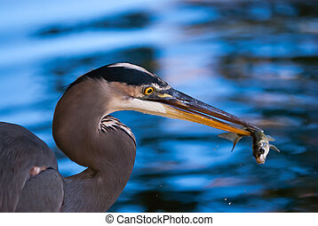 Great Blue Heron (Ardea herodias) catching a fish against blue water on the background
