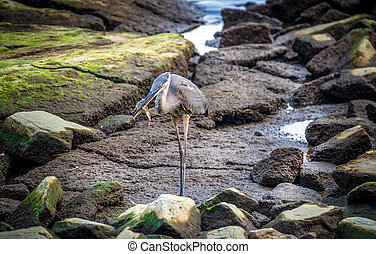 Great Blue Heron Catching a Maryland Blue Crab