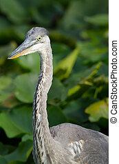 Great Blue Heron closeup in a marsh