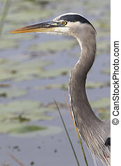 Great Blue Heron Closeup