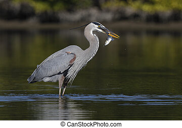 Great Blue Heron eating a fish - Pinellas County, Florida