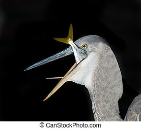 Great Blue Heron eating a fish