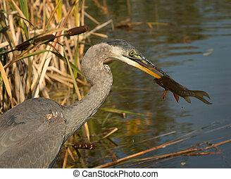 Great blue heron eating fresh fish