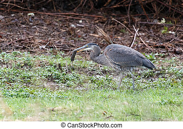 great blue heron eating rat  in Vancouver BC Canada.