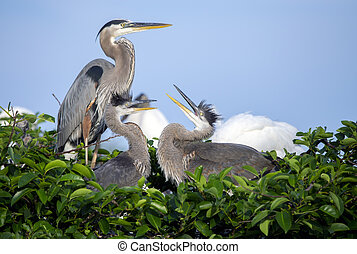 An adult great blue heron (Ardea herodias) with two juveniles in a nest. Photo captured in southern Florida.