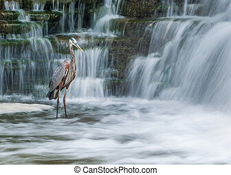 Great Blue Heron fishing for food in a creek with waterfall.