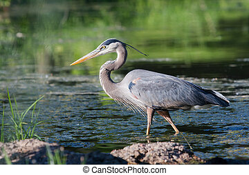 Great Blue Heron Fishing - Great Blue Heron fishing in the...