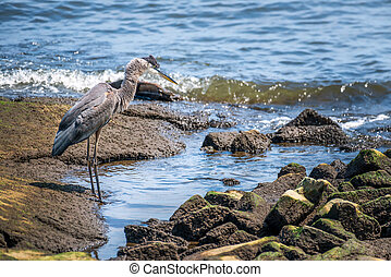Great Blue Heron fishing on the Chesapeake Bay
