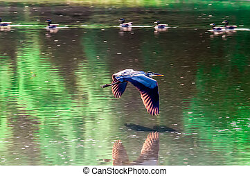 Great Blue Heron flying abstract motion
