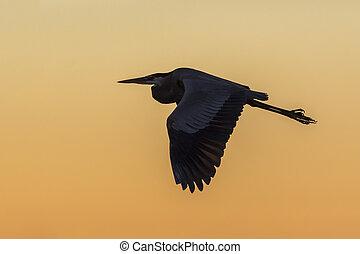 Great Blue Heron flying at sunrise - Cedar Key, Florida