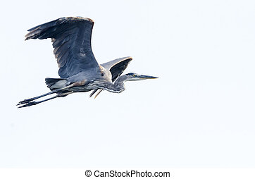 Great Blue Heron flying left to right