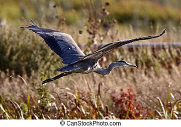 Great Blue Heron flying over Saskatchewan marsh