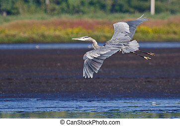 Great Blue Heron Flying Over the Marsh