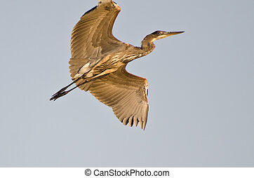 Great Blue Heron Flying with Wings Outstretched