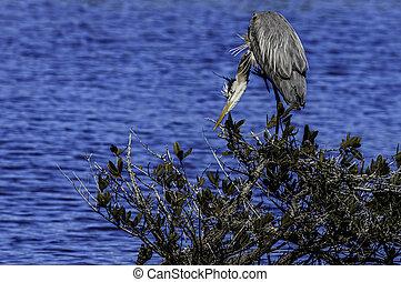 Great Blue Heron Focus