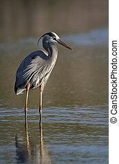 Great Blue Heron - Fort Myers Beach, Florida