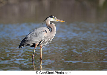 Great Blue Heron - Fort Myers Beach, Florida - Great Blue...