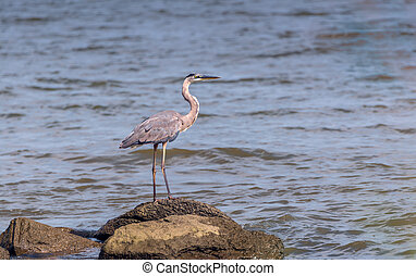 Great Blue Heron Gaze