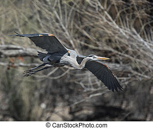 Great Blue Heron - Great Blue  Heron flying