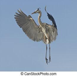 Great Blue Heron in breeding plumage.