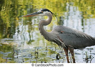 Great Blue Heron - Great blue heron standing in pond.
