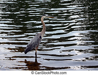 Great Blue Heron Greenville, SC