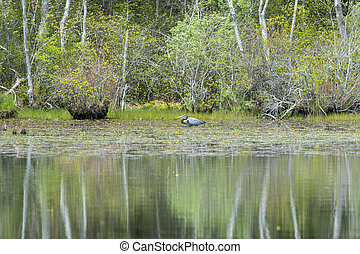 Great Blue Heron hunting